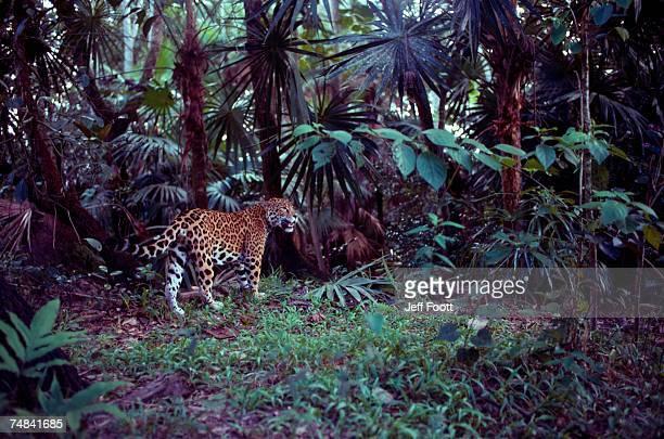 Jaguar. Belize, Central America