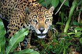 Jaguar (Panthera onca), close-up