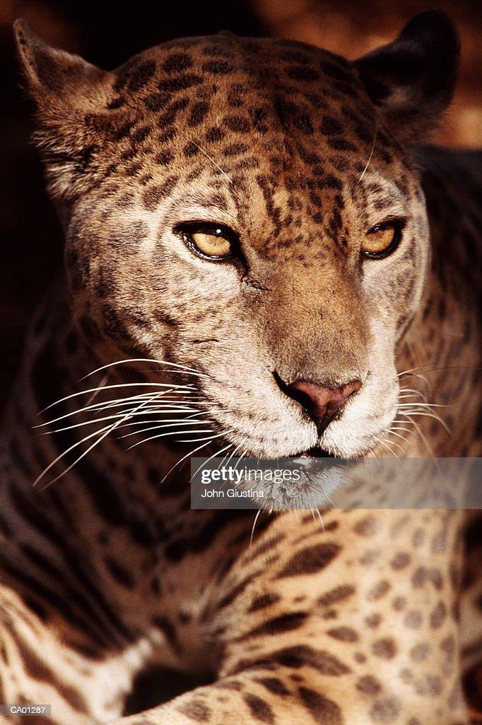 Jaguar (Panthera onca), close-up : Stock Photo