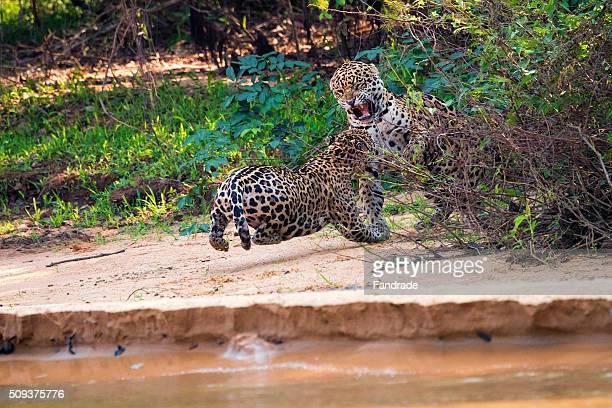 Jaguar couple mating ( panthera onca),  in Pantanal, Brazil