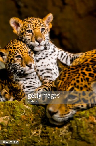 Jaguar Cubs : Stock Photo