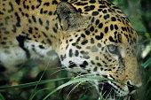 Jaguar from Central rainforest, close-up