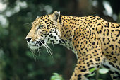 Jaguar from Central rainforest