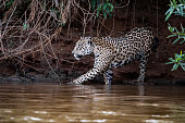 Jaguar going for a bath in the Cuiaba river in the brazilian Pantanal