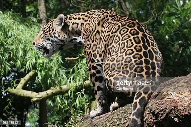 Jaguar in a tree