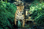 Jaguar in dappled rain forest stream