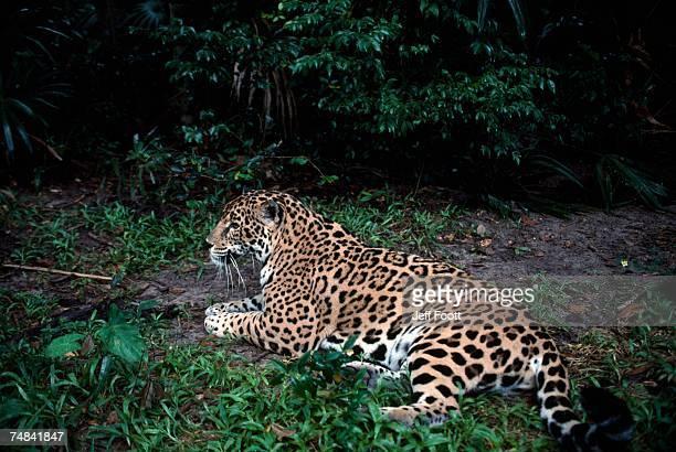 Jaguar in rainforest, endangered. Belize, Central America
