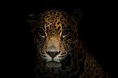 jaguar ( Panthera onca ) in the dark night