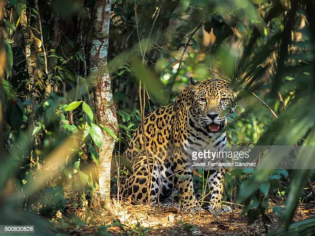 A jaguar (Panthera onca) in the jungles of Central America.