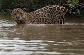 Jaguar in the Panatal
