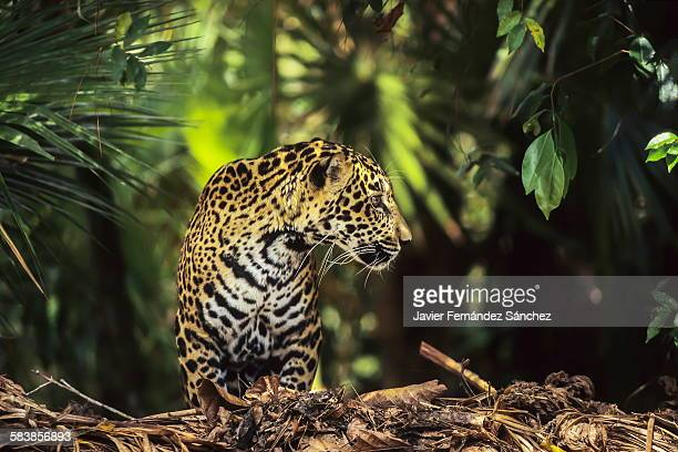 Jaguar in the rainforest
