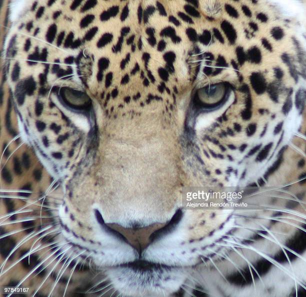 Jaguar intense gaze