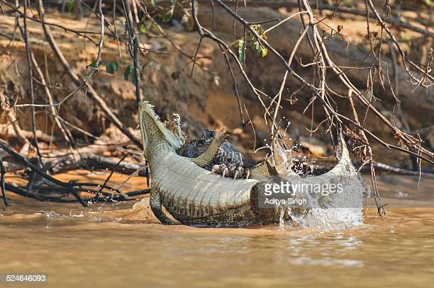 Jaguar killing Caiman
