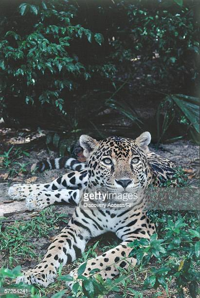 Jaguar lies on ground in tropical rainforest. Felis onca. Belize.