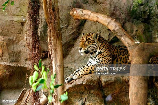 Jaguar Loro Parque Tenerife Canary Islands 2007 Loro Parque is a zoo located on the outskirts of Puerto de la Cruz