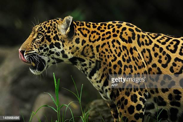 jaguar san jose stock photos and pictures | getty images