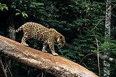 Jaguar (Panthera onca) on tree branch, Brazil