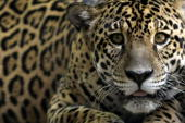 A 'Jaguar' one of an endangered native species of Amazonian fauna lies at a natural reserve certified by the Brazilian Institute for the Environment...