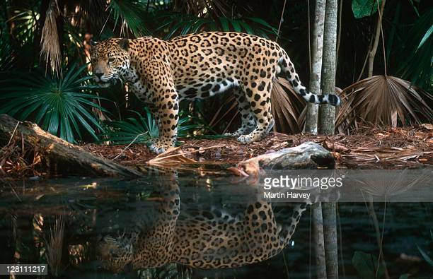 Jaguar, Panthera onca, along waters edge. Near threatened species. Native to Central & South America