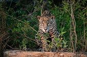 Jaguar, Panthera onca, single mammal in the Pantanal, Brazil