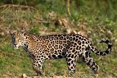 Jaguar in Pantanal region, Brazil
