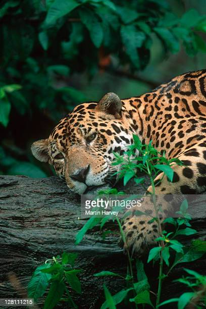 Jaguar, Panthera onca, resting on log. Near threatened species. Native to Central & South America