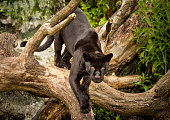 A Jaguar prowling