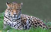 Close-up view of a Jaguar (Panthera onca)