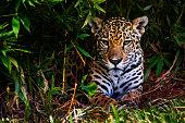 A jaguar rests in a bush.