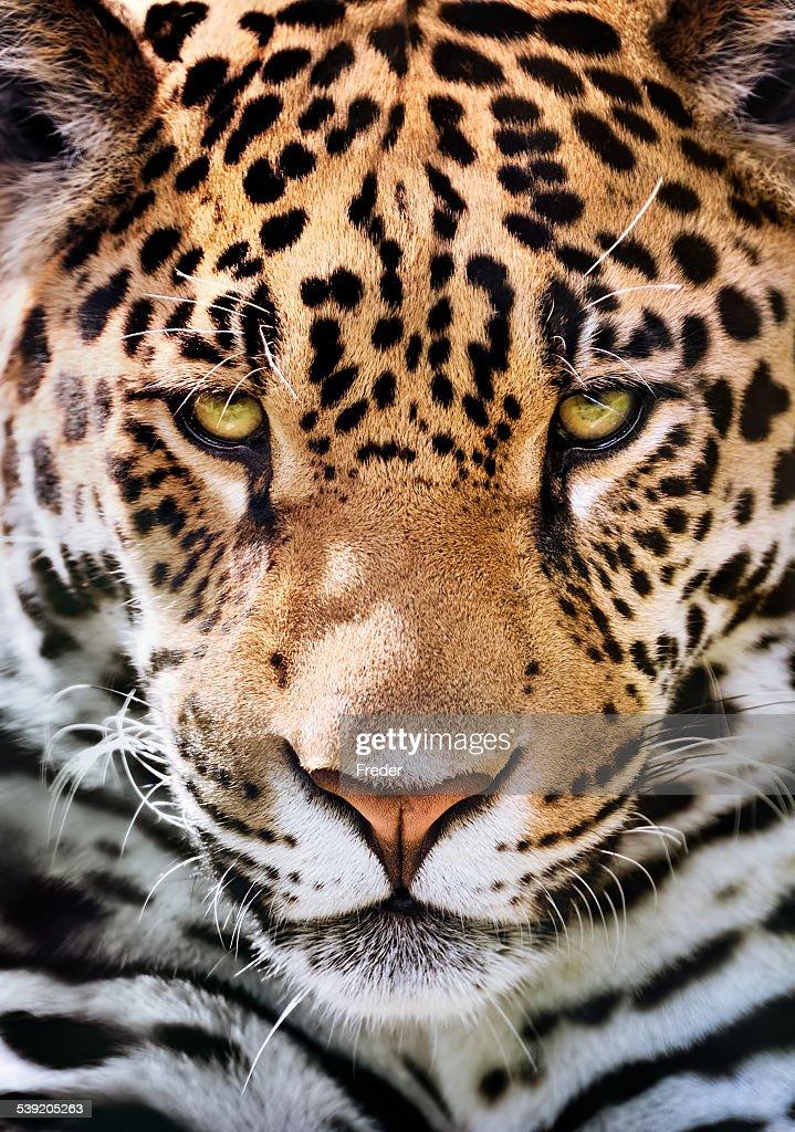 jaguar portrait : Stock Photo