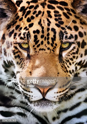 jaguar portrait : Photo