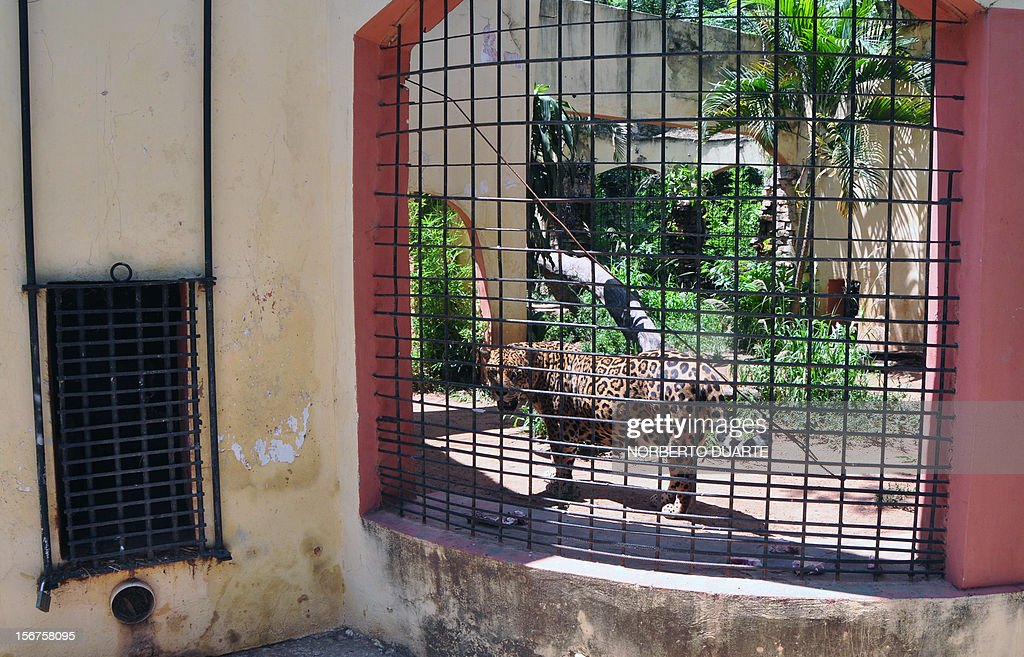 A jaguar remains in its cage at the zoo in Asuncion, on November 20, 2012. The zoo, allegedly overcrowded in some areas and with irregular food supply and lacking an environment license, is being inspected by the Department of the Environment (SEAM) for 'violating environmental laws'. AFP PHOTO/ Norberto Duarte
