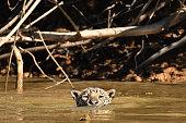 Jaguar swimming in river, the Pantanal, Brazil.