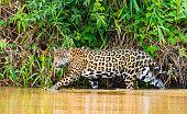 Jaguar walking in river while hunting.  Pantanal, Brazil
