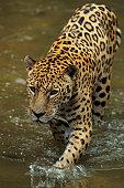 Jaguar (Panthera onca) walking through water, Brazil