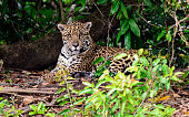 Attentive Jaguar watching closely