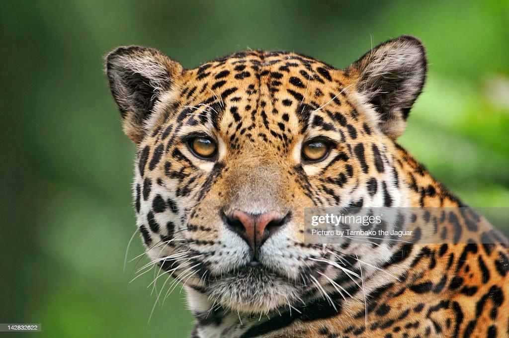 Jaguaress looking at camera : Stock Photo