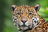 Jaguaress looking at camera