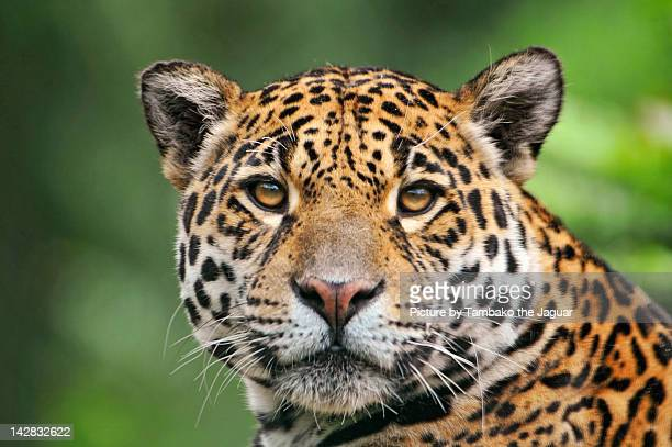 Jaguaress looking at camera