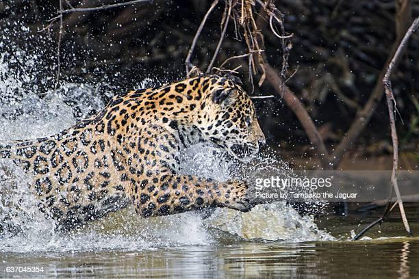 Jaguaress running in the water