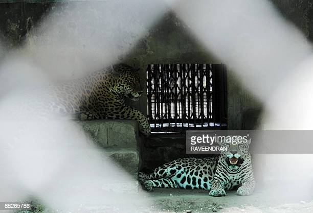 Jaguars rest in their enclosure to beat the afternoon heat at the Zoological Park in New Delhi on June 6 2009 The unrelenting heat persists in the...