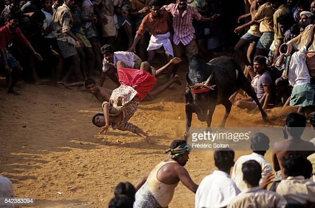 Jallikattu is a wild bull taming sport played in Tamil Nadu as a part of Pongal celebration | Location Near Madurai Tamil Nadu India
