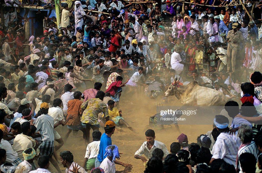 Jallikattu is a wild bull taming sport played in Tamil Nadu as a part of Pongal celebration (harvest festival).   Location: Near Madurai, Tamil Nadu, India.
