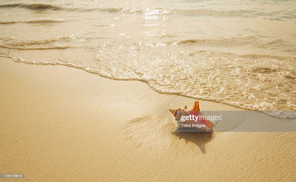 Jamaica, Conch shell on beach