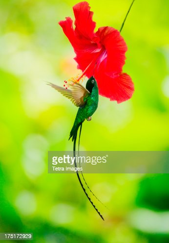 Jamaica, Hummingbird feeding with flower nectar