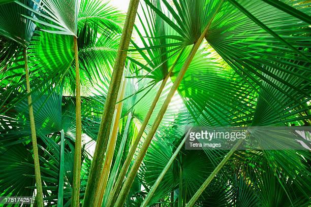 Jamaica, Palm leaves