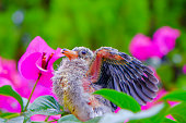 An image of a baby bird , Jambu fruit-dove learning to fly.