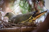 An image of a  Jambu fruit-dove  on the nest.