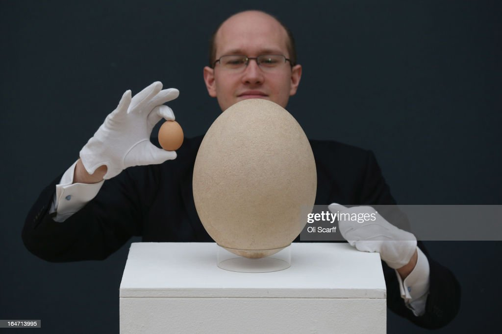 James Hyslop, a Scientific Specialist at Christie's auction house examines a complete sub-fossilised elephant bird egg, next to a chicken's egg, on March 27, 2013 in London, England. The elephant bird egg is expected to fetch 30,000 GBP when it features in Christie's 'Travel, Science and Natural History' sale, which is to be held on April 24, 2013 in London.