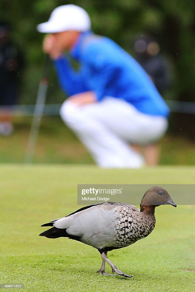 James Marchesani of Australia lines a putt behind a duck behind on the 2nd green during day two of the Australian Masters at The Metropolitan Golf Course on November 21, 2014 in Melbourne, Australia.